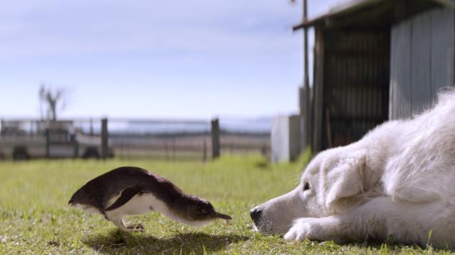 A verdadeira história sobre um excêntrico fazendeiro de frango que, com a ajuda de sua neta, treina seu cão pernicioso Oddball para proteger um santuário de pinguins selvagens de ataques de raposa e, no processo, tenta reunir sua família e salvar sua cidade litorânea.